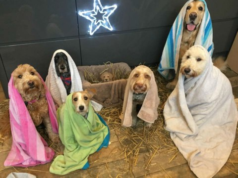 So, these pet groomers have recreated the nativity with their dogs