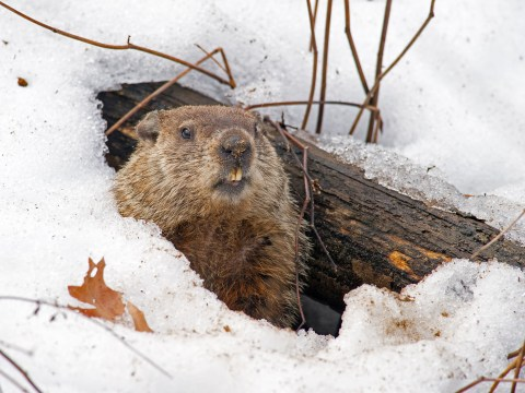 What is Groundhog Day and will Punxsutawney Phil see his shadow?