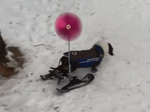 Disabled dachshund is given a set of skis so she can get around in the snow