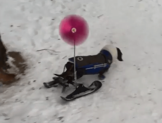 Disabled dachshund dog given wheelchair skis