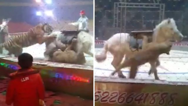 Lion and tiger attack horse in circus rehearsal gone wrong