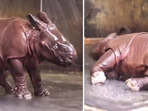 Baby rhino jumps for joy as he's given first ever shower