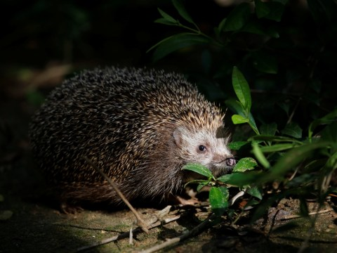 Where have all the hedgehogs gone? Sightings of beloved beasties drop for third year in a row