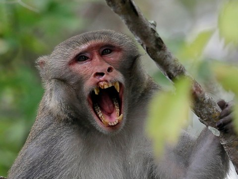 Herpes-ridden monkeys could spread virus to humans, scientists warn