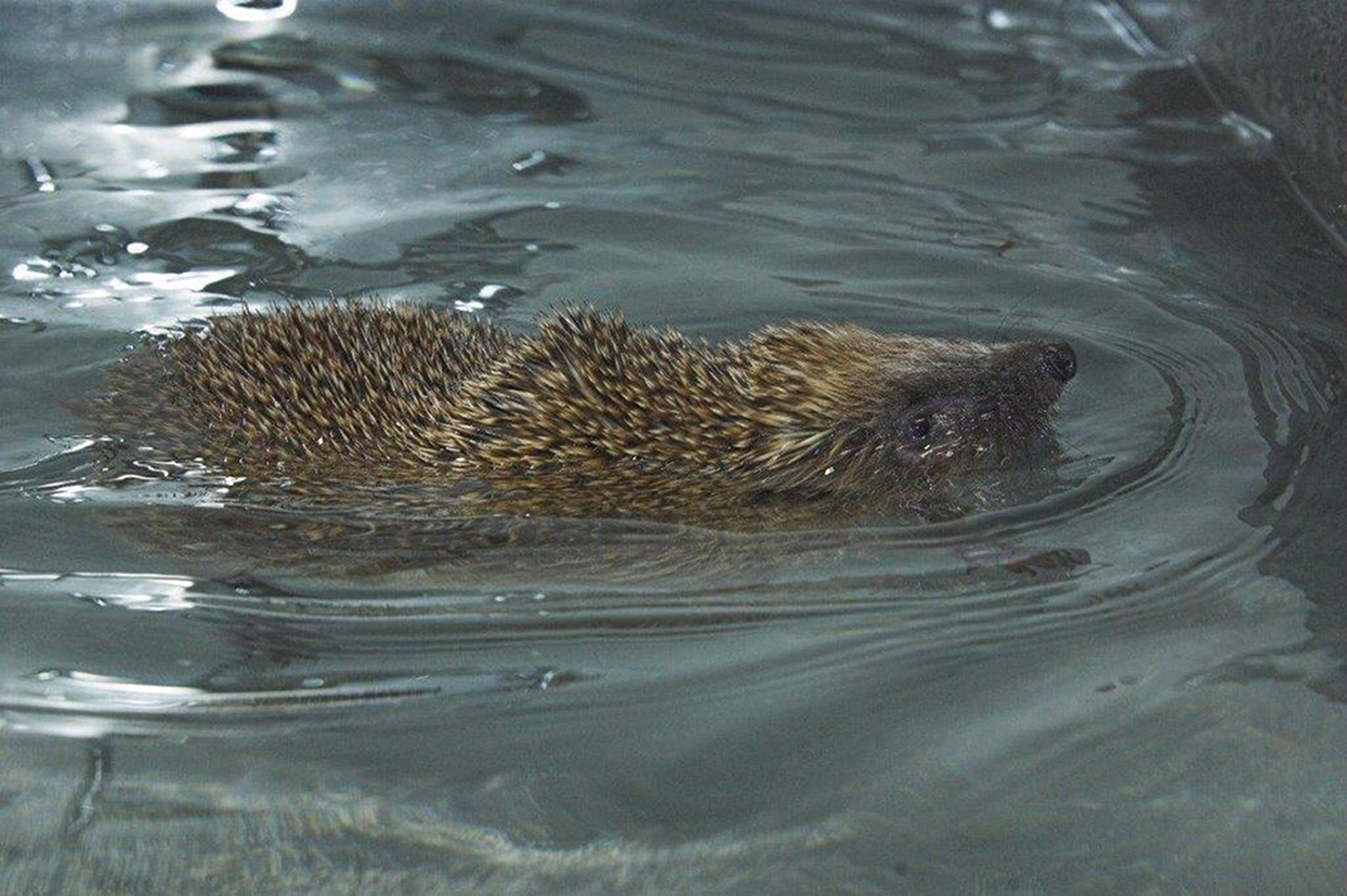 Disabled hedgehog given new lease of life with swimming lessons