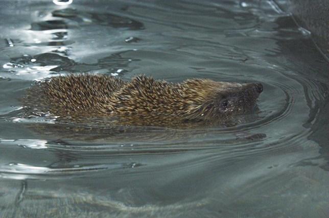 Phelps the swimming hedgehog