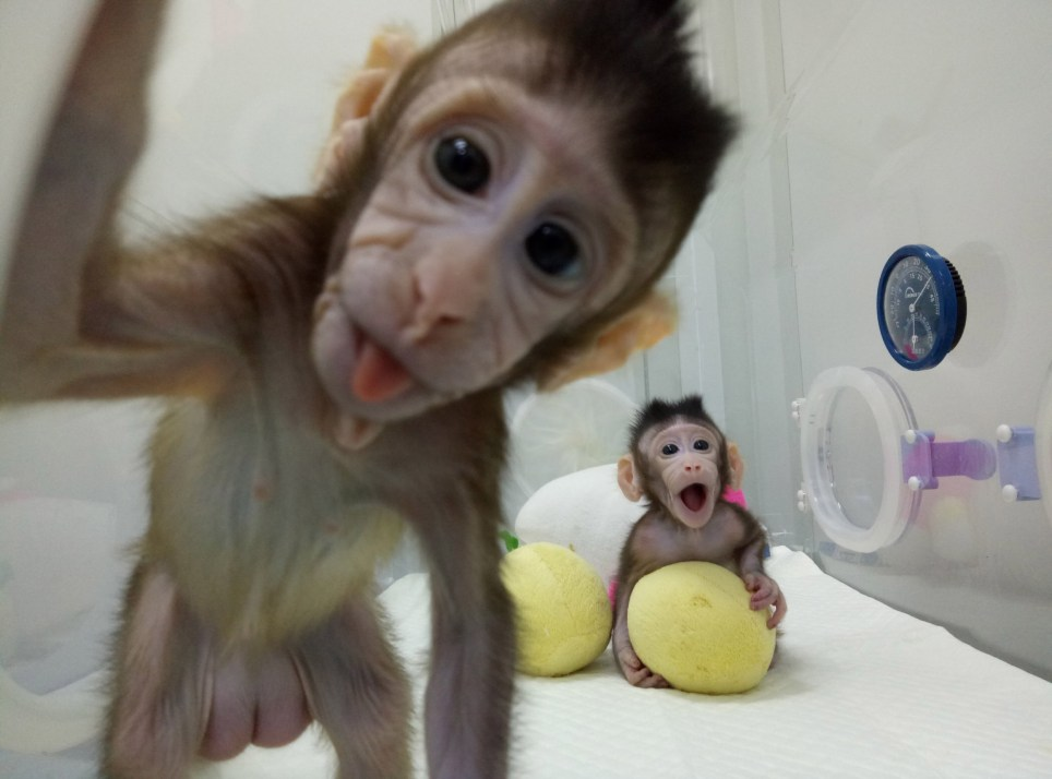 Macaque monkeys become first primates to be cloned - are ...