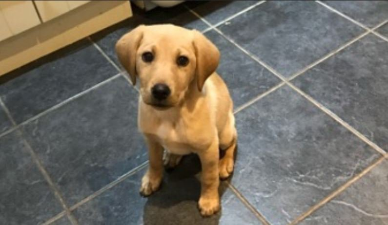 Dying Labrador puppy saved after student vet raises thousands for her surgery