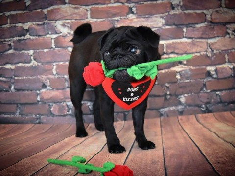 Help your pup fall in love at this pug-themed Valentine's event