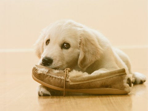 Getting a new puppy? Beware of these pitfalls