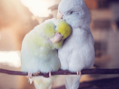 Woman documents the love between her parrotlet birds and it's enough to melt even the coldest heart