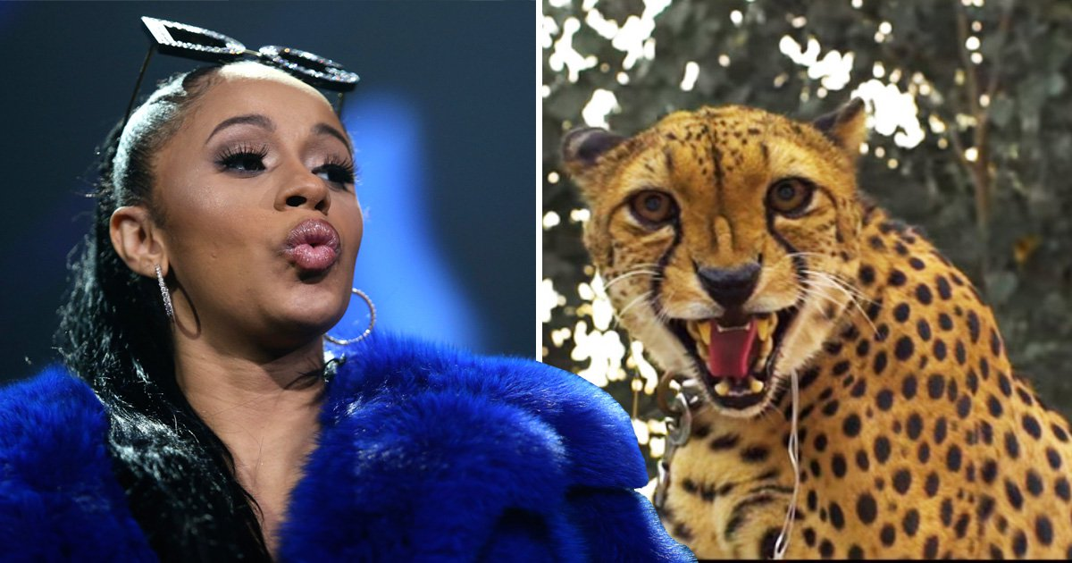 Cardi B was attacked by a cheetah while filming the Bodak Yellow video