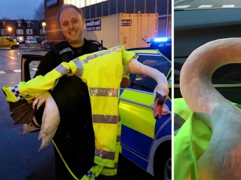 Police officer chases swan on busy road just like in Hot Fuzz