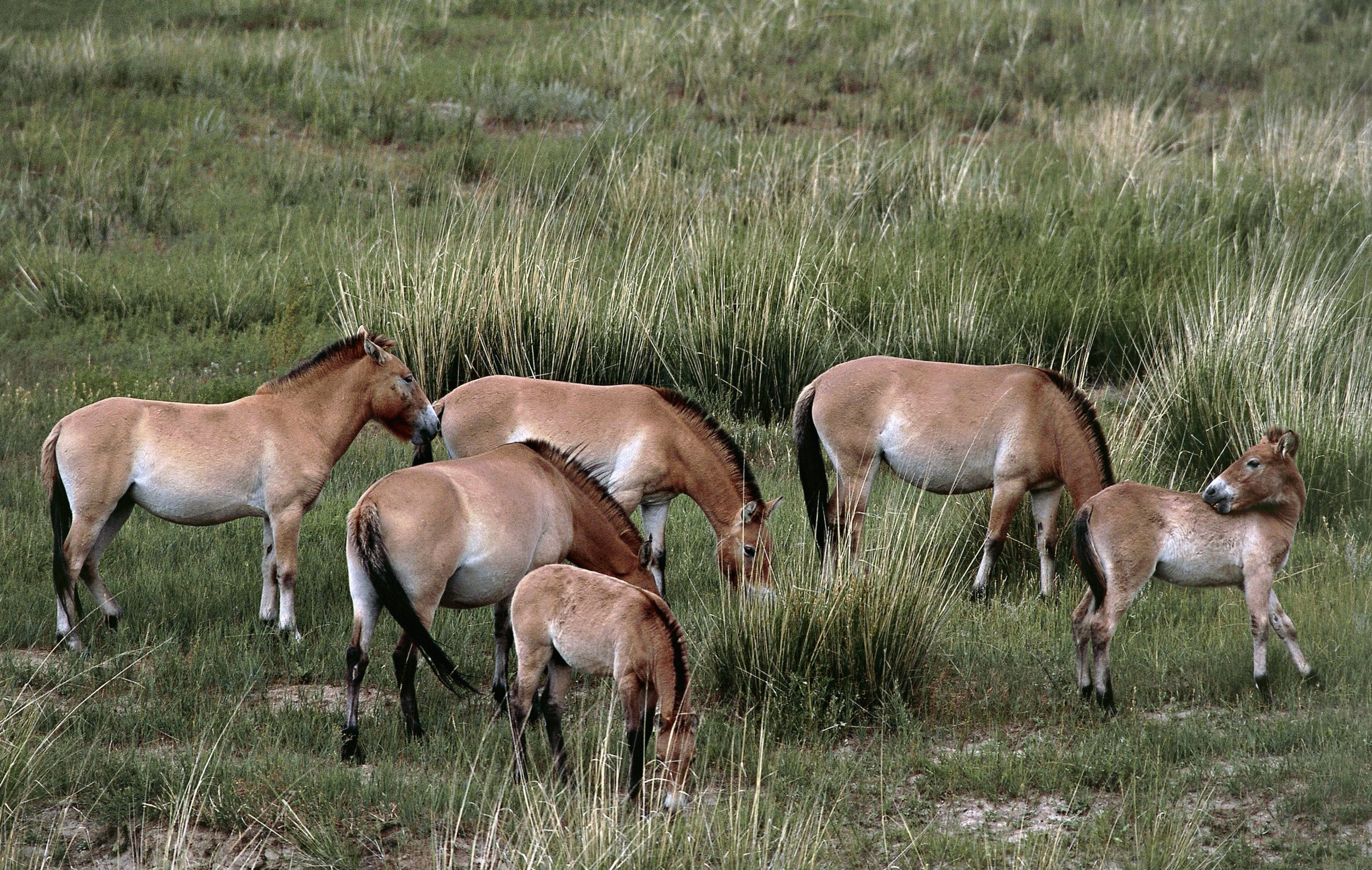 MONGOLIA - FEBRUARY 24: Przewalski's horse or takhi (Equus ferus przewalskii), Khustain Nuruu National Park, Mongolia. (Photo by DeAgostini/Getty Images)