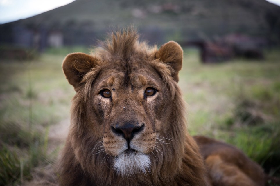 epa06567626 A handout photo made available by the NGO Four Paws shows a rescued lion named Saeed shortly after being released into his new adaptive enclosure at Lionsrock in Bethlehem, South Africa, 26 February 2018 (issued 27 February 2018). Saeed was born in the Magic World Zoo near Alepo in Syria in 2016. He was one of 13 animals that Four Paws rescued from the war torn zoo in July 2017. He was transfered to Al Ma'wa in Jordan in August 2017. Today he and another lion, Simba, were released into Lionsrock where they will live out the rest of their lives. EPA/DANIEL BORN / FOUR PAWS / HANDOUT HANDOUT EDITORIAL USE ONLY/NO SALES