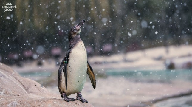 Our Humboldt #penguins enjoyed today's snow flurries! ?? #uksnow