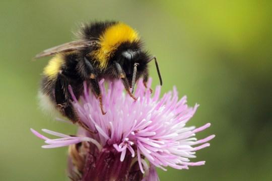 Summer Macro bumblebee image on thistle,taken at Glan Oughterard Co Galway.