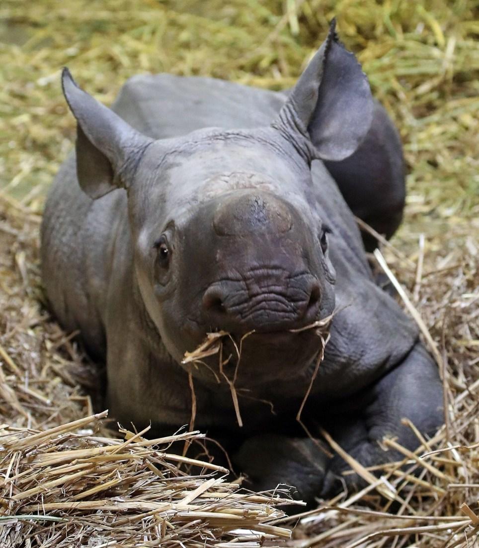 Adorable baby black rhino becomes 40th born at Kent ...