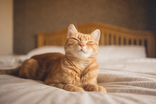 Why do cats purr, knead and meow?