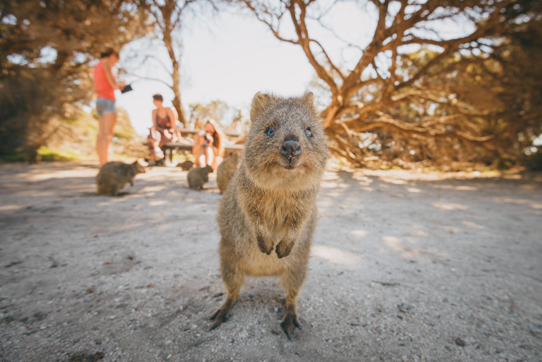 Quokkas on Rottnest Island near Perth, Australia (Picture: Getty)