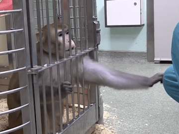 Why are primates still used in UK experiments?