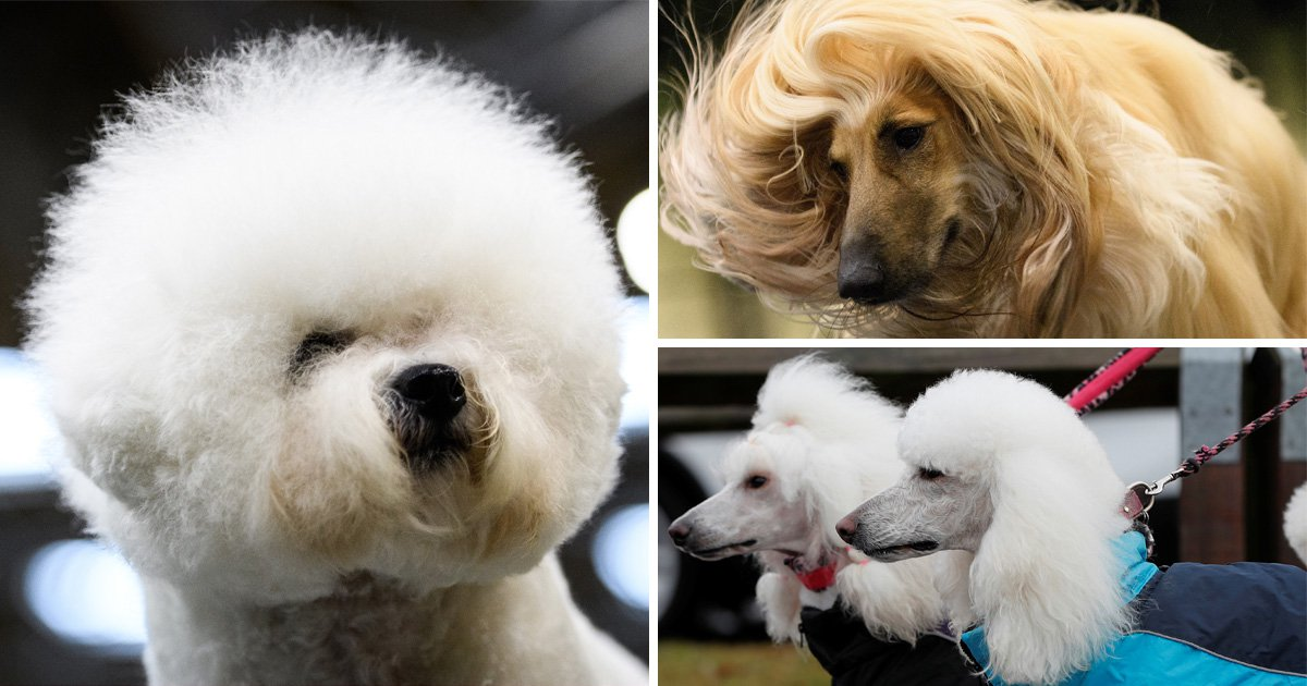 18 sassy dogs at Crufts that are definitely more fabulous than you