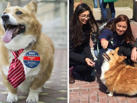 A Corgi is running for student president at this university