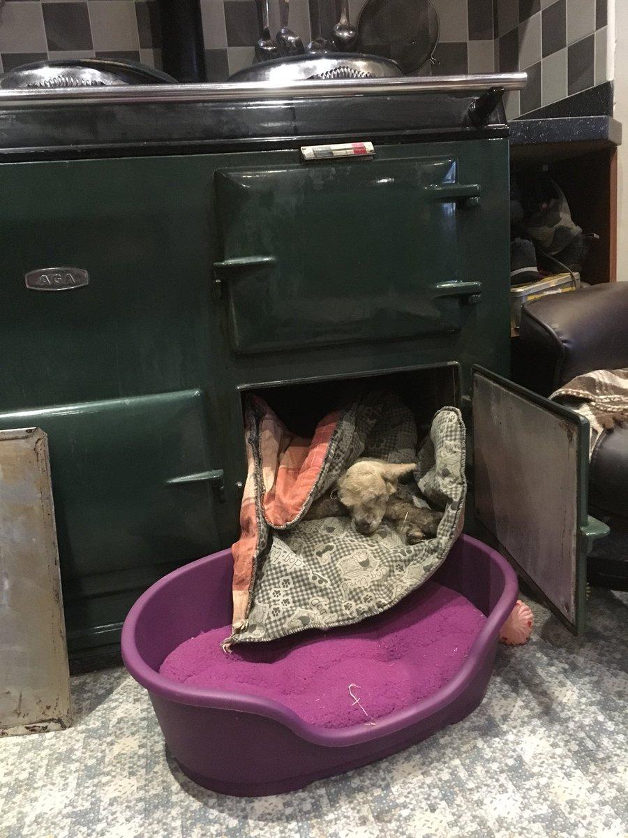 (Picture: @william_b_jones_) Lamb keeping warm in the AGA https://twitter.com/william_b_jones/status/967660199552147456