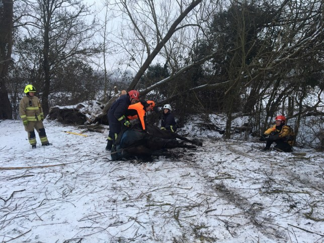 INS News Agency Ltd. 04/03/2018 This was the scene as fire crews in Oxford struggled to free a horse which was poleaxed by a falling tree in a snow covered field on Saturday. The weight of the tree made the 11-year-old horse fall onto its side and firefighters had to use saws to cut away the branches and a winch to then pull the horse out from beneath the fallen tree. See copy catchlined INStree.