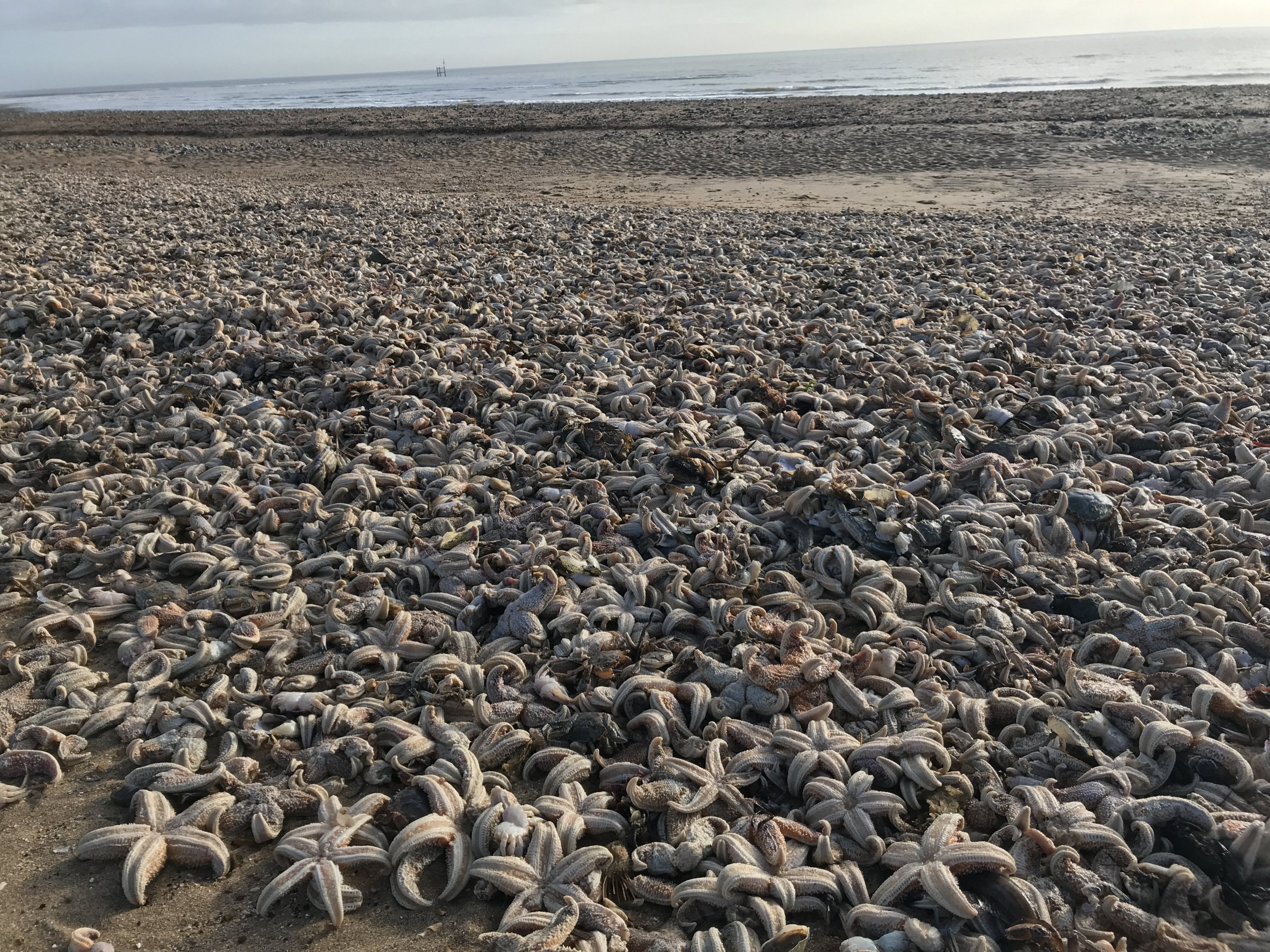 "Staggering photos show tens of thousands of dead starfish washed up on a British beach in the wake of the beast from the east weather snap. See National story NNBEACH; The spectacular scene in Ramsgate, Kent, was described as ""like the armageddon"" by wildlife enthusiast Laura Maiklem, 47, who photographed the phenomenon. She estimated ""hundreds of thousands"" of starfish and other sea life were washed ashore this weekend following the spell of subzero temperatures."