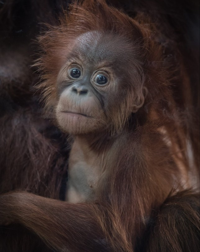 Primate keepers at Chester Zoo have revealed that a newborn Sumatran orangutan baby is a girl, and she has been named Kesuma, which means ?flower? in Indonesia.
