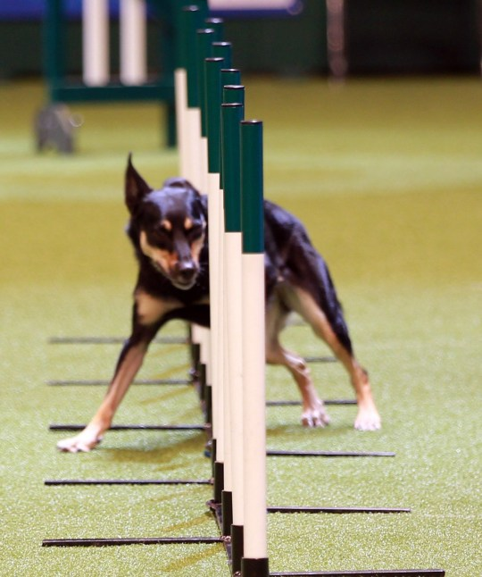 Mandatory Credit: Photo by Graham Stone/REX/Shutterstock (9451811fg) Dog competing Crufts dog show, Birmingham, UK - 08 Mar 2018