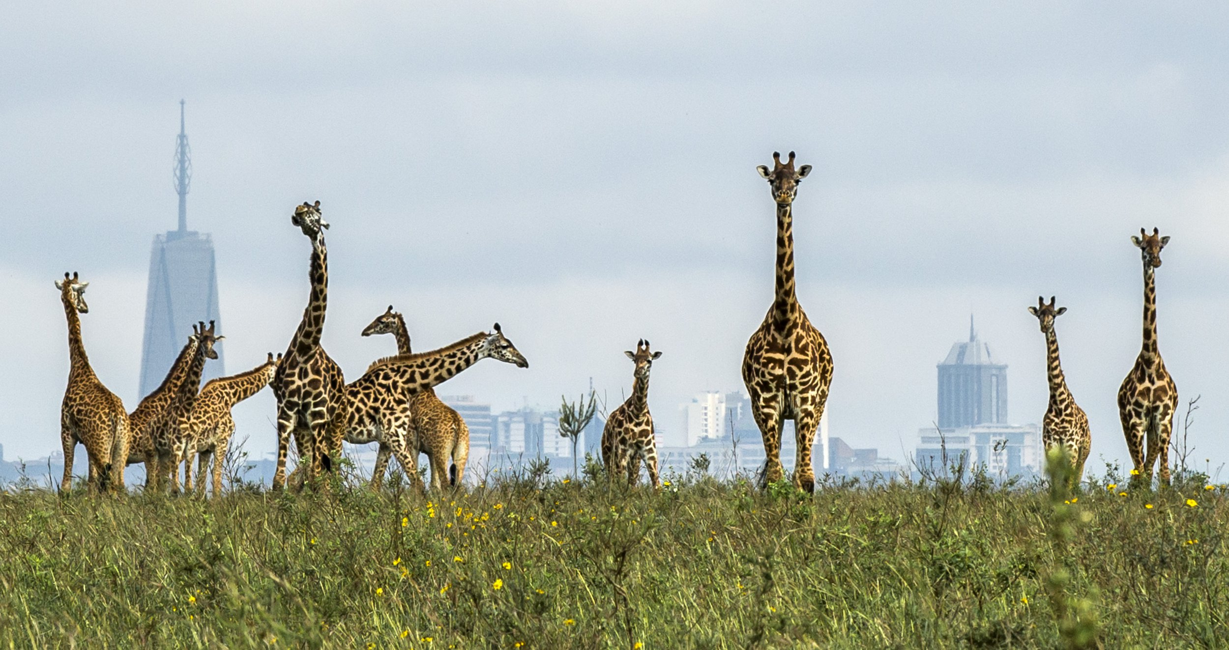 PIC BY PARAS CHANDARIA / CATERS NEWS - (PICTURED PIC TAKEN 15/11/17 )These majestic giraffes are used to being the tallest thing around - but theyre given a run for their money when they look out on a city full of skyscrapers. In a truly one-of-a-kind image, talented photographer Paras Chanaria managed to capture the beautiful animals strolling within metres of the skyscrapers in Nairobi - causing quite the contrast. The herd of giraffe were found in Nairobi National park, which borders the capital city of Nairobi. Its rare for animals who live in the bush to come onto the outskirts of the park - but luckily, Paras, 34, was there just at the right moment. SEE CATERS COPY