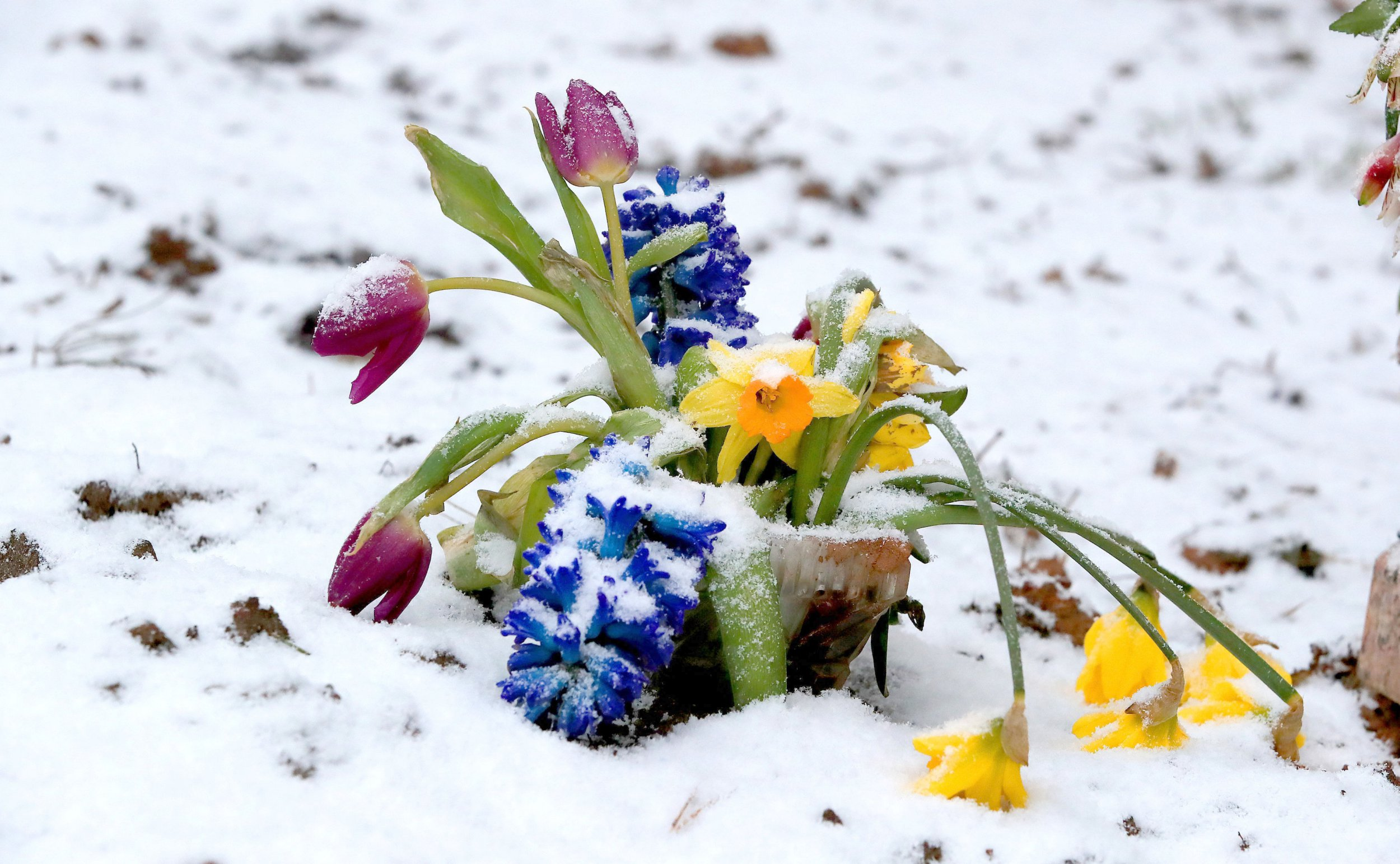 """File photo dated 27/02/18 of flowers in the snow near Liverpool, as sightings from the public show that spring was making an early appearance before the freezing weather of the """"beast from the east"""" swept across the UK."""