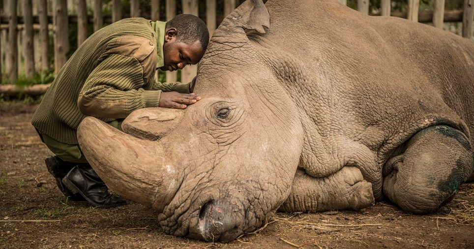 A wildlife ranger, Joseph Wachira, comforts Sudan, the last male Northern White Rhino on the planet moments before he passed away.