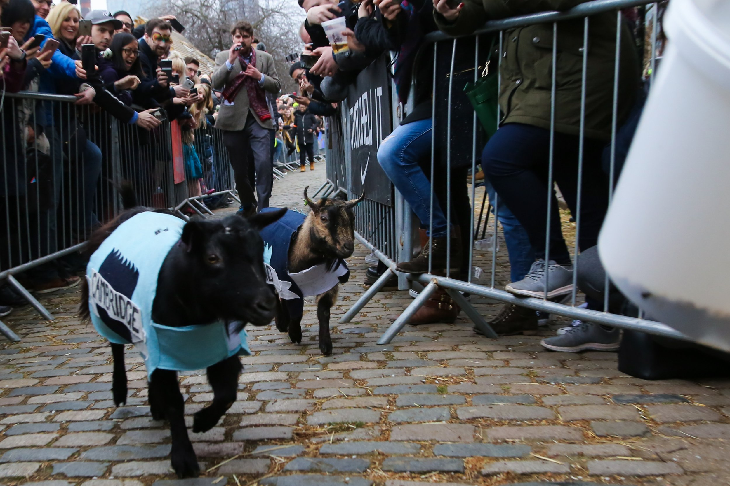 Hamish (Oxford) wins the Goat Race. Goats compete during the Hamish (Oxford) and Hugo (Cambridge) Goat Race at Spitalfields City Farm in East London. The annual fundraising event, which takes place on the same day as the Oxford and Cambridge boat race, where two goats, one named ???Oxford???, the other ???Cambridge???, going horn to horn to be crowned King Billy. Featuring: Hamish (Oxford), Hugo (Cambridge) Where: London, United Kingdom When: 24 Mar 2018 Credit: Dinendra Haria/WENN