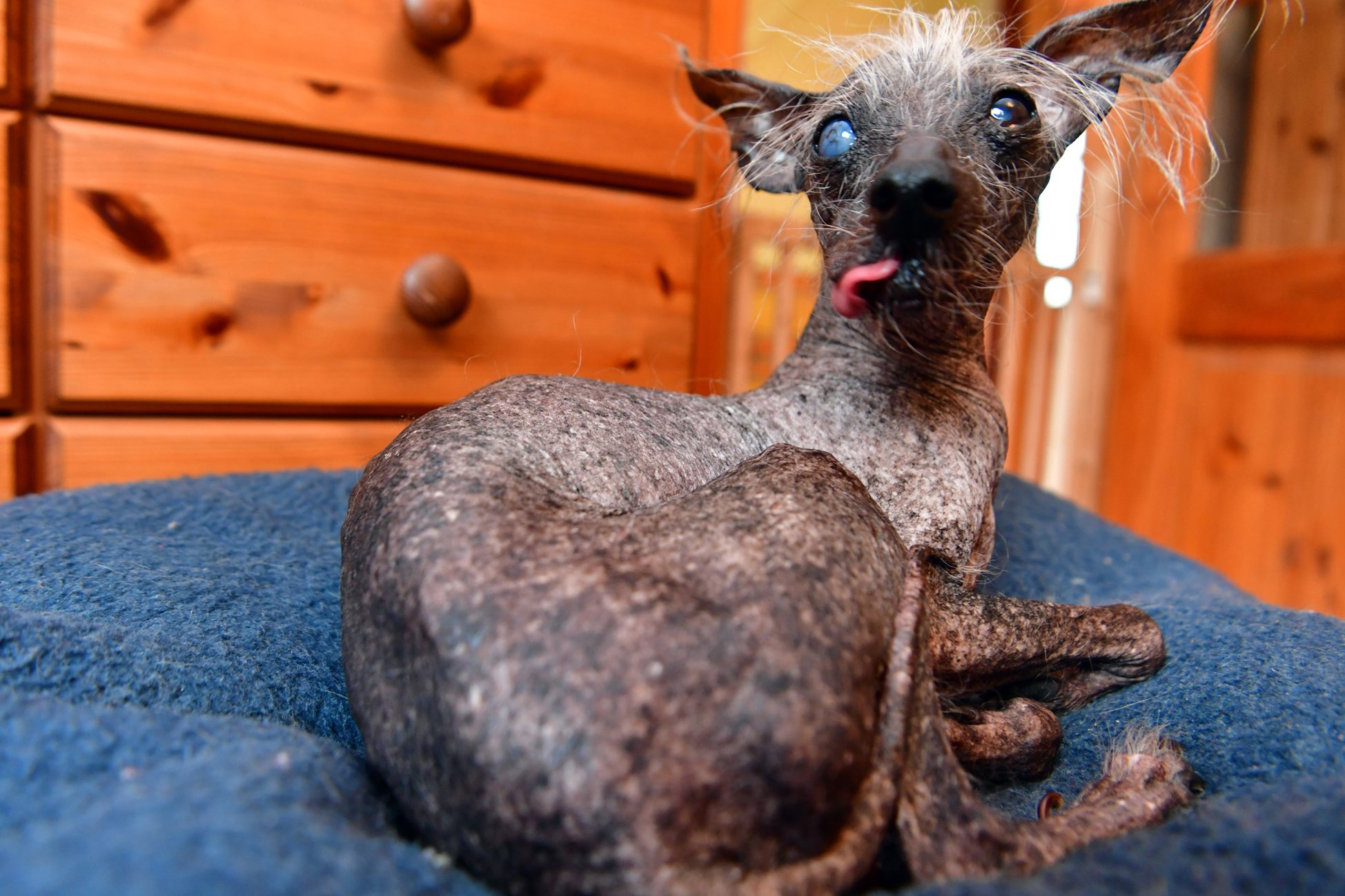 Storm Shayler's Chinese crested dog Chase was awarded third place in the World's Ugliest Dog competition in 2017. Storm suffered from post-traumatic stress disorder and social anxiety following the death of her mother when she was 18. Chase acts as her service dog helping her manage social situations.