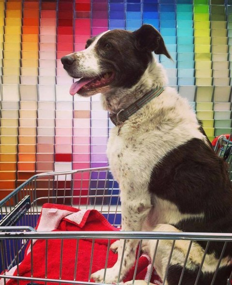 Dogs in Bunnnings shopping trolleys is our new favourite