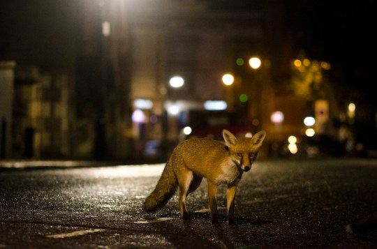 Why do foxes scream at night? | Metro News