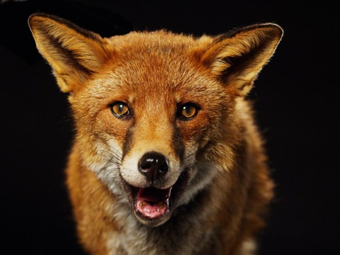 Why do foxes scream?