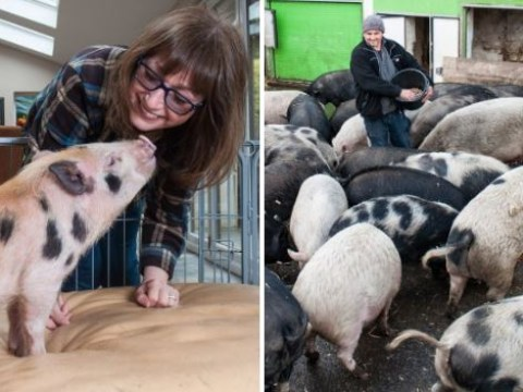 'Micro pigs' being abandoned by owners when they grow too big