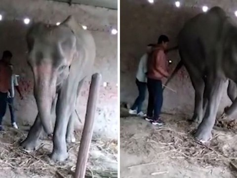 Final agonising hours of elephant's life in captivity caught on film