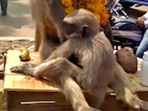 Baby monkey filmed clinging onto its dead mother's body at roadside