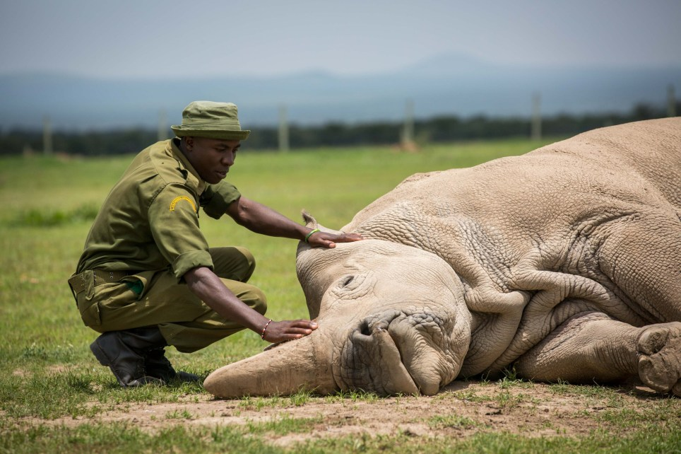 (180331) -- LAIKIPIA (KENYA), March 31, 2018 (Xinhua) -- A caretaker touches Najin, one of the world's last two remaining female northern white rhinos, in Ol Pejeta Conservancy in Laikipia county, northern Kenya, March 30, 2018. Kenyan wildlife officials and global wildlife conservationists on Saturday converged at Ol Pejeta Conservancy in northern Kenya where a memorial service for the late world's only remaining male northern white rhino fondly named Sudan took place. (Xinhua/Lyu Shuai) PHOTOGRAPH BY Xinhua / Barcroft Images