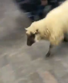 Watch a loose sheep run into a Waitrose in London (Picture: Jess Hodge)