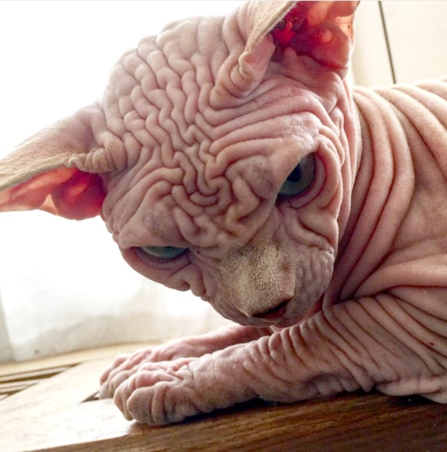 Pic From Caters News - (Pictured: Naked sphynx cat Xherdan, 5 is becoming an internet sensation.) - THIS grumpy looking naked cat is taking the internet by storm thanks to his permanently frowned expression. Sphynx cat Xherdan, five, is covered in wrinkles and looks continually grumpy.Despite that his owner Andra Filippi, 45, said the pet immediately stole her heart when she found him on the internet.The pair live in Switzerland with two other sphynx cats after Andra adopted him. Xherdan now has nearly 5,000 followers on Instagram after Andra began posting pictures of his wrinkled skin and grumpy face.The scowling kitty even poses for photos in costumes and jewellery.SEE CATERS COPY.
