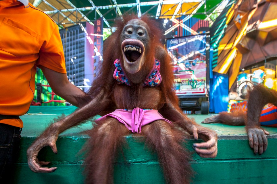**ONLINE EMBARGO UNTIL 00:01 07/04/2018** PIC BY AARON GEKOSKI / CATERS NEWS - (PICTURED Orangutans made to perform) - Shocking images of orangutans being exploited in cruel boxing bouts for tourists have emerged. Safari World near Bangkok, Thailand, put on the daily shows for crowds of holidaymakers to watch the animals battle it out in the ring. The mocked up fighters are put in gloves and shorts while female apes are dressed up as ring girls in bikinis and miniskirts. Environmental photojournalist Aaron Gekoski witnessed the show and captured the horrifying images. SEE CATERS COPY