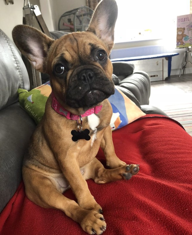 Pictured: Bella A family has been left 'devastated' after their puppy was stolen by heartless thieves at one of Britain's top museums. French bulldog Bella was left in the designated dog area at the National Motor Museum at Beaulieu but was snatched by strangers within five minutes. Five-month-old Bella had been bought as a Christmas present for eight-year-old Imogen Joiner by her parents Peter and Abbey who say she has been left 'heartbroken'. Now young Imogen 'cries herself to sleep every night' and 'takes Bella's teddy bear to bed with her'. SEE OUR COPY FOR MORE DETAILS. ? Solent News & Photo Agency UK +44 (0) 2380 458800