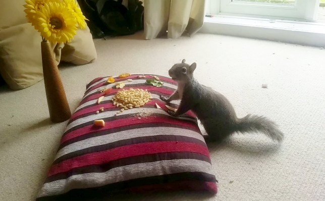 This adorable footage shows a semi-tame squirrel feasting on treats in the front room of a London home. See SWNS story SWSQUIRREL. The bold squirrel has been munching on cashew nuts, almonds and pine nuts served on a cushion, on a daily basis for three weeks. Cyber security worker Jake Davis, 25, first spotted the critter nearly a month ago and they rapidly built a rapport. He affectionately named the critter ?Cyber Squirrel? - because of its fondness for looking at his laptop screen.