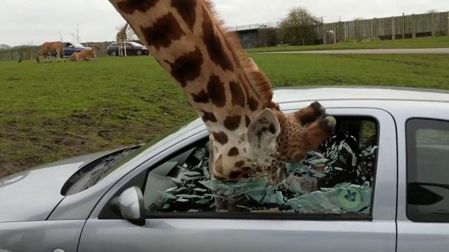 Couple regret winding up giraffe when it shatters their car window
